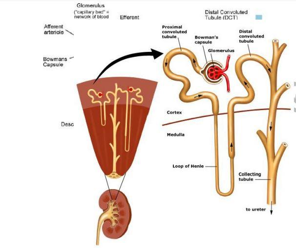 Draw A Labeled Diagram Of Mammalian Nephron