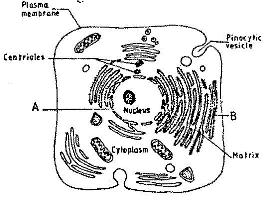 The figure below is a fine structure of a generalized animal cell as the figure below is a fine structure of a generalized animal cell as seen under an electron microscope ccuart Images