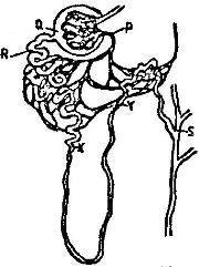 The diagram below represents a mammalian nephron